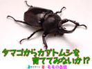 タマゴからカブトムシを育ててみないか!?_表紙